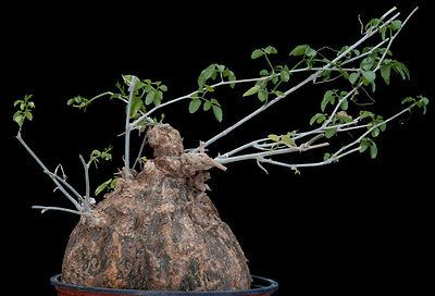 Momordica rostrata Caudex Large Mature Plant