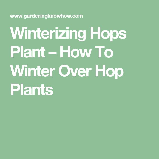 Winterizing Hops Plant – How To Winter Over Hop Plants