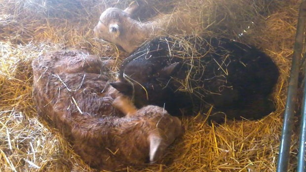 A rare triple birth of calves was recorded on Wally and Kerry LaClare's farm near Melfort, Sask., this week. Odds for triplets in beef cattle are 1 in 105,000.