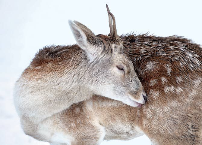 """prettyyyy """"On a snow-carpeted field in Essex County's Weald Country Park, a young fallow deer pauses to groom while foraging. Known as a pricket at this stage, he sports his first set of antlers—simple spikes of hard bone."""""""