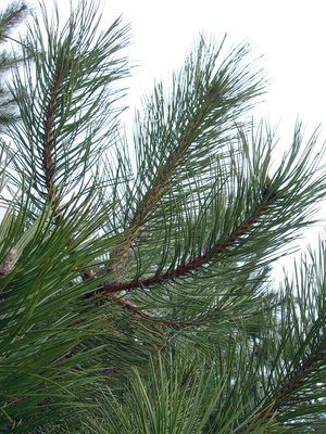 How to Remove Tree Sap From a Tree Stand. Nothing beats a real pine tree in your home for the holidays. However, because pine trees are natural, they will bring in a lot of pine needles, debris and the messy, nearly impossible to remove tree sap. Removing sap from your tree stand cannot be done with only soap and water, but by using a few other...