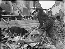 Rip - A rescue himself, found by Air Raid Warden E. King in London, this mixed terrier took to search & rescue without training. During 1940-41, he found over 100 victims after air raids and was awarded the Dickin Medal for his efforts.