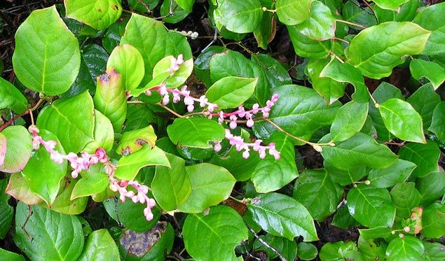 Five Pacific Northwest Native Shrubs to Plant in Your Garden - Salal