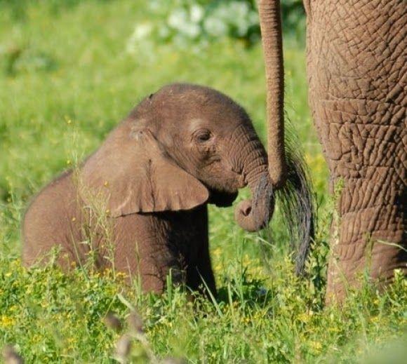 Baby Elephant Holding Mom's Tail