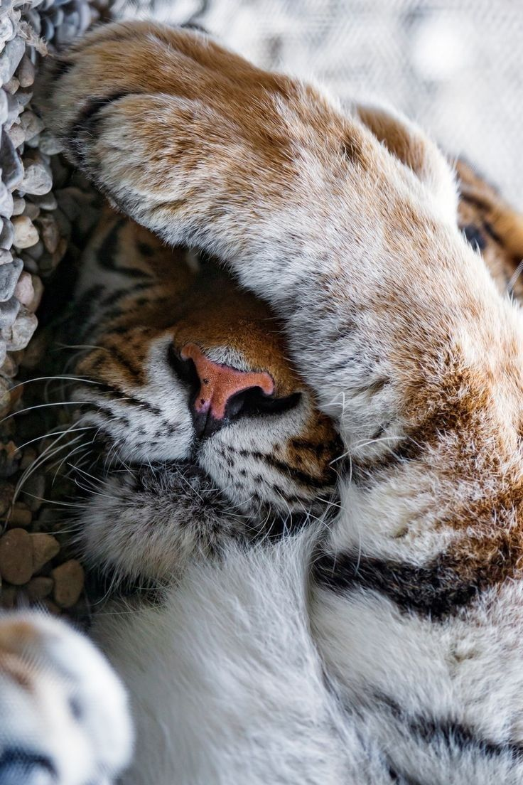 Pin by Sarah on Tigers Big Cats Pinterest Cats Animals and