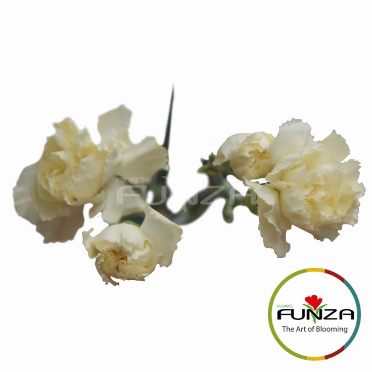 Cream Spray Carnation from Flores Funza. Variety: Tayrona. Availability: Year-round.