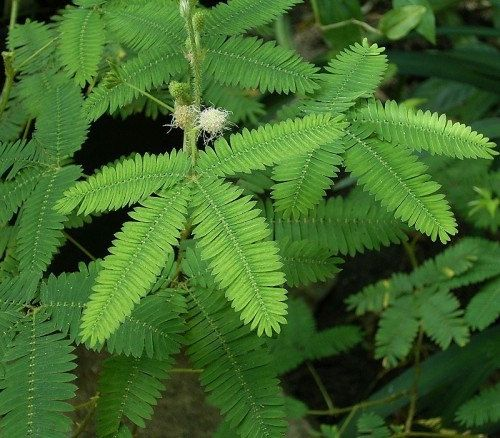 100 SEEDS Mimosa Pudica Shy Sensitive Plant Pink by seedsshop