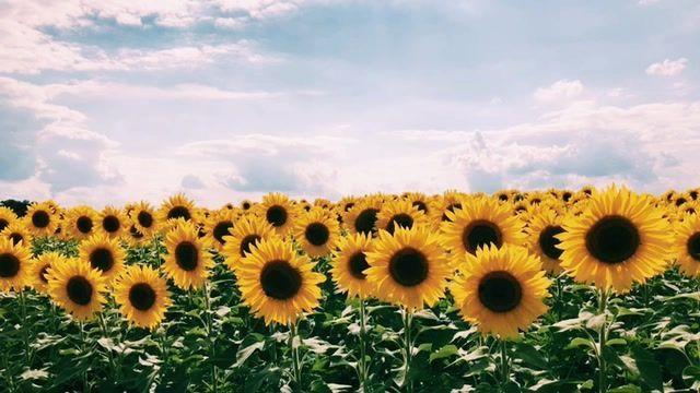 Pinterest Jjuliakimm Sunflower Wallpaper Flower Phone Wallpaper Sunflowers Background