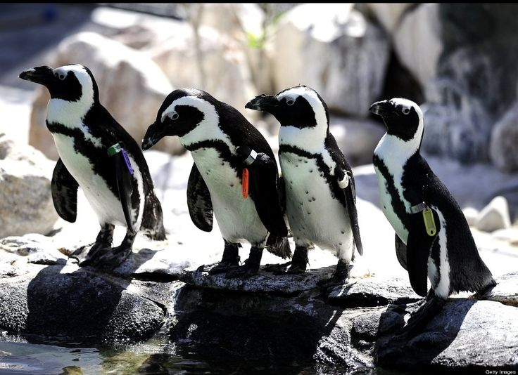 African Penguins  A group of African penguins gather near a pond at a conservation site in Cape Town, South Africa. Birdlife International say the African penguin is edging closer to extinction.