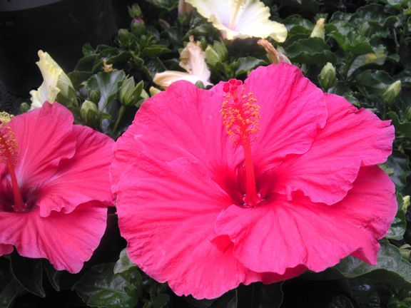 An Image Of A Pink Tradewinds Tropical Hibiscus Good Hibiscus
