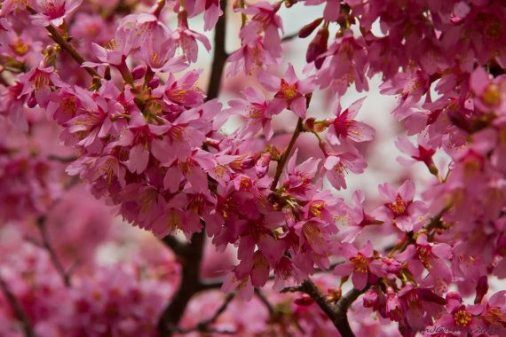 Fine Art Photography -- Cherry Blossoms I