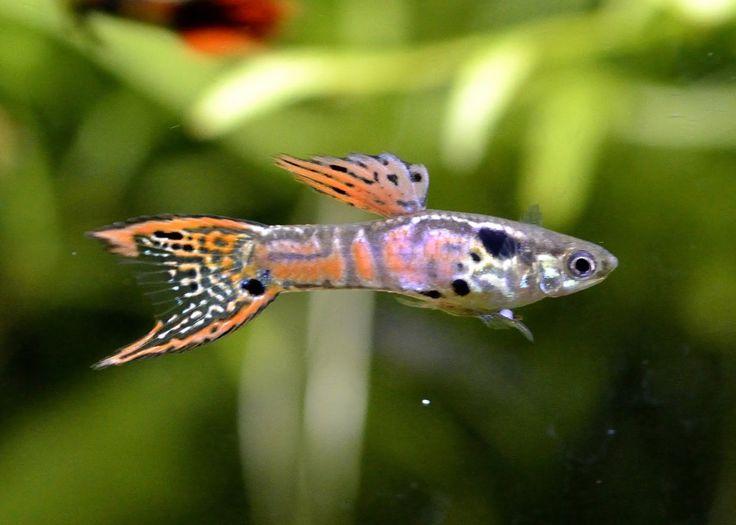 Les 25 meilleures id es de la cat gorie guppy poisson sur for Aquarium plat