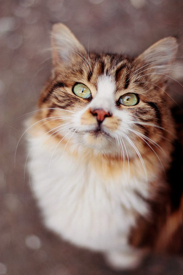 """""""We humans are fortunate if we are chosen to be owned by a cat."""" --Anonymous"""