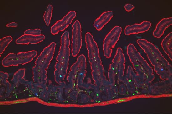 Neuron-like cells provide nervous system with window into the gut.