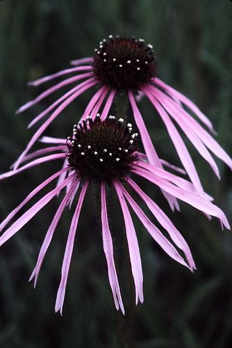 All about Pale Purple Coneflower (Echinacea pallida)