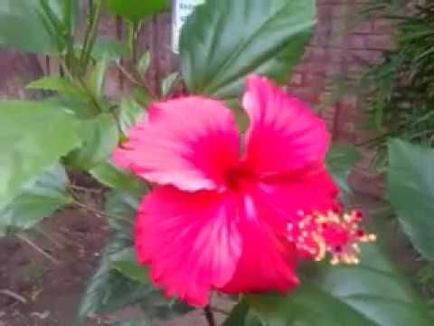 Hibiscus Flowers Blooms | China Rose | Gudhal in August - YouTube