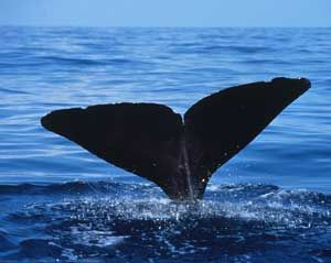 Whale watching ~ Hermanus