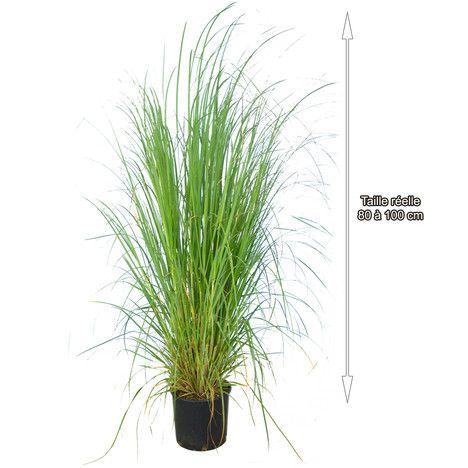 1000 id es sur le th me herbe de la pampa sur pinterest plantes ornementales pelouses et. Black Bedroom Furniture Sets. Home Design Ideas