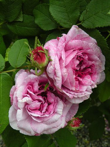Gallica Rose: Rosa 'Jenny Duval' (France, before 1846)