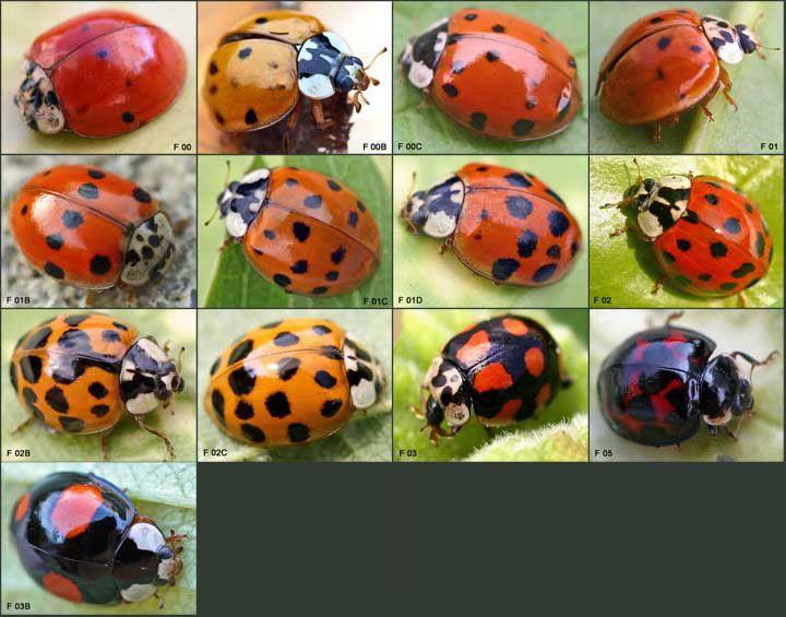 52 best images about ladybugs on pinterest its you plants and yard ideas - Larve de coccinelle ...