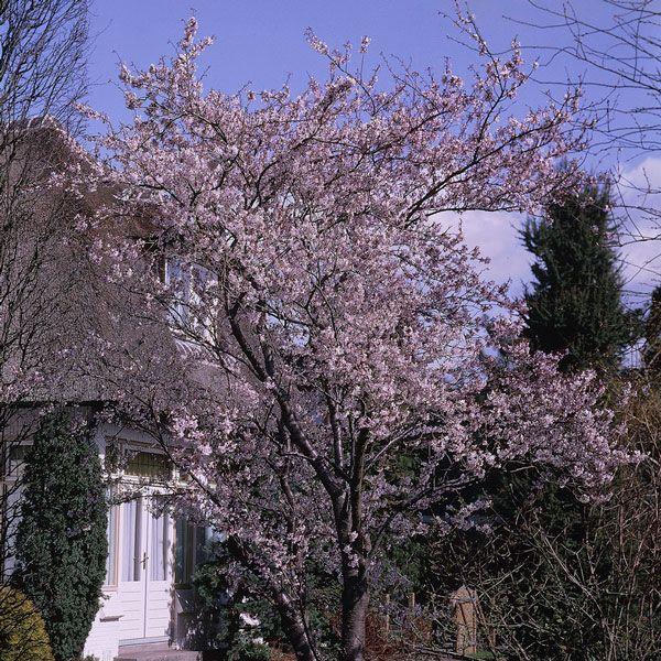 5ft Winter Flowering Cherry 12l Pot Prunus X Sub Autumnalis Rosea By Frank P Matthews 80 99 Blossom Trees Cherry Blossom Tree Deciduous Trees