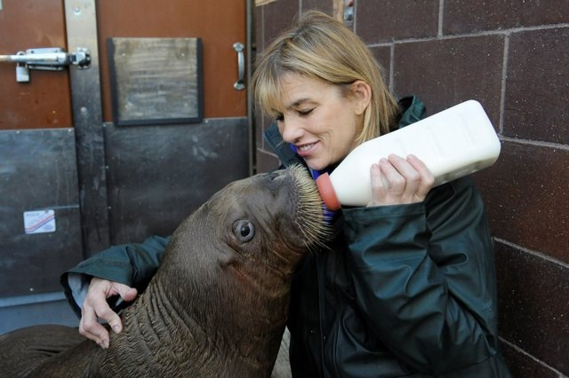 Adorable Photos, Videos: Baby Walrus Mitik Settles Into His New Brooklyn Home: Gothamist