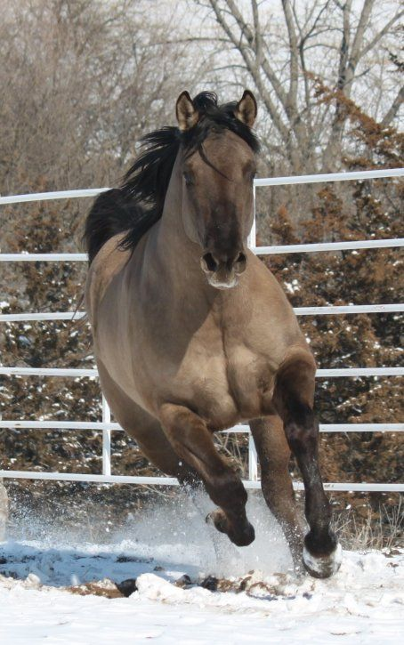 114 best images about Horse Color Galore: Dun on Pinterest ...