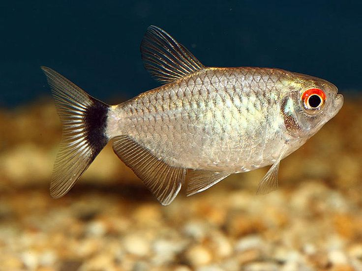 Red Eye Tetra (had 4 now up to 6) Aquarium fish we have Pinterest