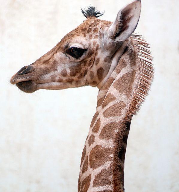 Giraffe by floridapfe on Flickr