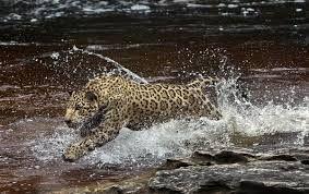 Giaguaro nel cuore dell'Amazzonia