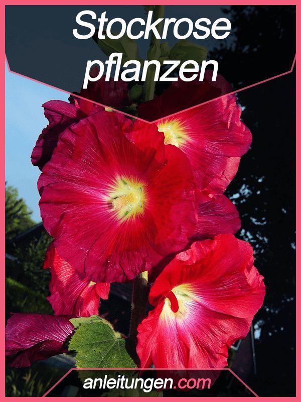 Stockrosen pflanzen - Stockrosen sind vor allem aufgrund ihrer großen Farbvielfalt sehr beliebt. Wie auch du die Blume in deinem Garten pflanzen kannst, erklären wir dir hier.