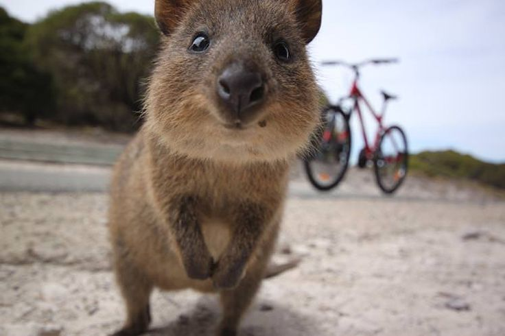 Western Australia is so rich in wildlife that it might just come looking for you, like this curious quokka. Image by Katy Clemmans / Moment / Getty Images