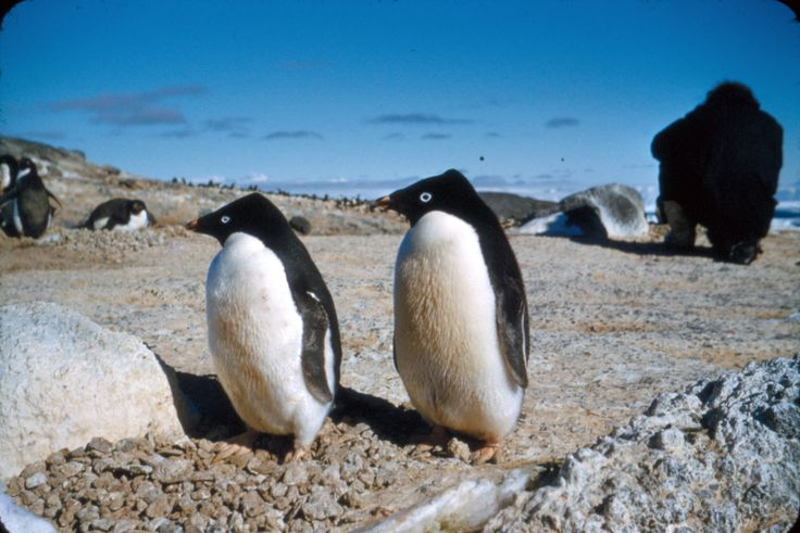 Penguins at Cape Royds. Taken by Alun Breese whilst serving on RNZAF Antarctic Flight, Tran-Antarctic Expedition, October '57 - Feb '58. From the collection of the Air Force Museum of New Zealand.
