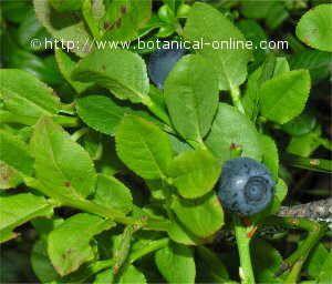 El cultivo de los arandanos