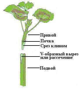 Прививка пеларгонии (герани) | Герань (Pelargonium)