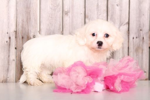 Zuchon puppy for sale in MOUNT VERNON, OH. ADN-59670 on PuppyFinder.com Gender: Female. Age: 10 Weeks Old
