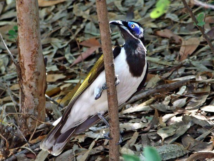 Fauna, Free Image, Free Photo, Australian Bird, Bush, Tree