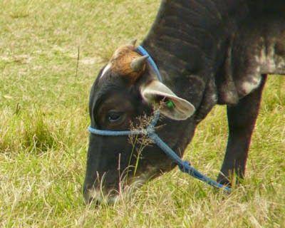Jataí News: Carne bovina tem pegada de carbono pior do que se ...