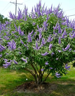 Vitex/Chase tree - I have these in my garden and they are wonderful and have  a mild lavender scent.  Easy to propagate too.