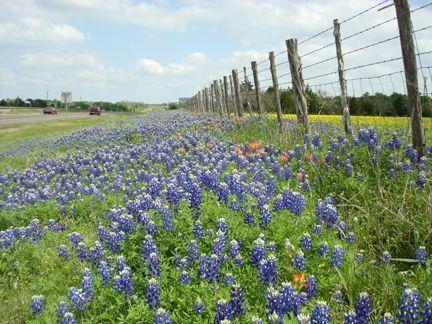 See blue bonnet fields in Texas