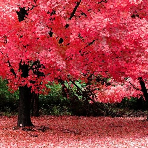 Des arbres roses f erique nature faune et flore - Arbre japonais rose ...
