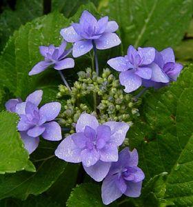 RP: Hydrangea Serrata 'Miyama Yae-murasaki' - Japanese Pink to Lavender Blue Lacecap Mountain Hydrangea