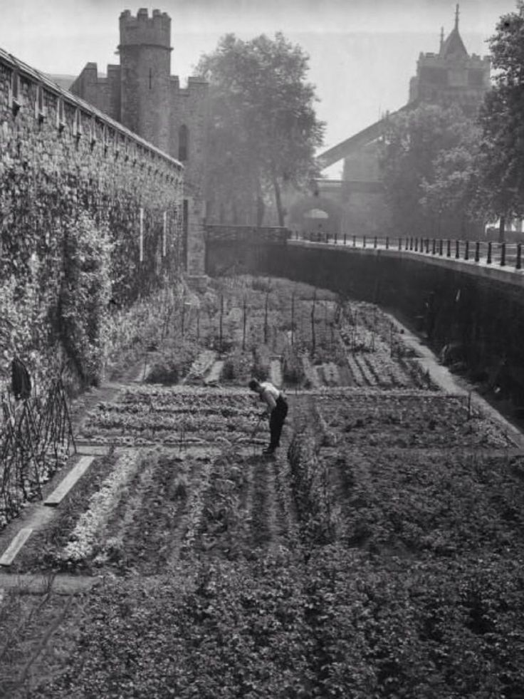 During #WW1, the Tower of London moat wasn't filled with #TowerPoppies, but vegetables!
