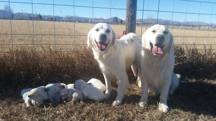 17 best images about sweetheart goldens loveland colorado for T shirt printing loveland co