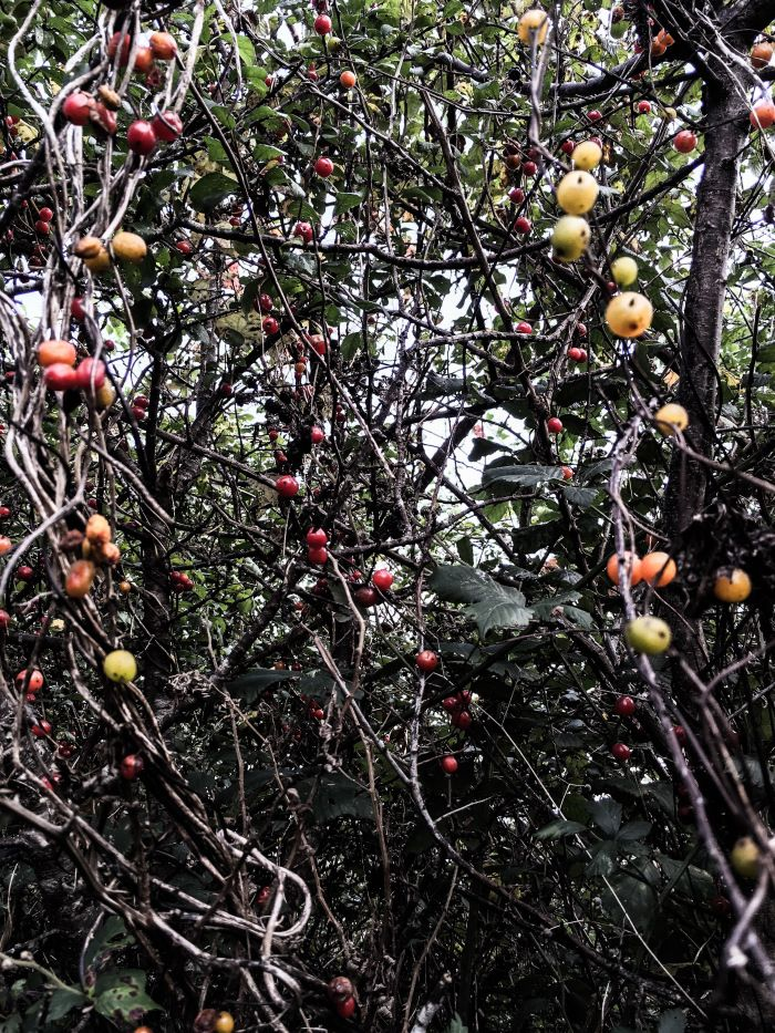 Multi coloured berries by the Cornwall coast in autumn