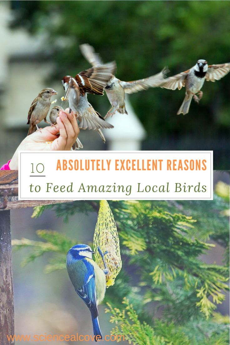There are 10 Absolutely Excellent Reasons to Feed Amazing Local Birds. Feeding birds in winter provides food when its hard to find. There are dozens of ideas to feed birds in backyards. Try one and reap the benefits. #feedingbirds #feedingbirdsinwinter #feedingbirdsbackyards #feedingbirdsideas