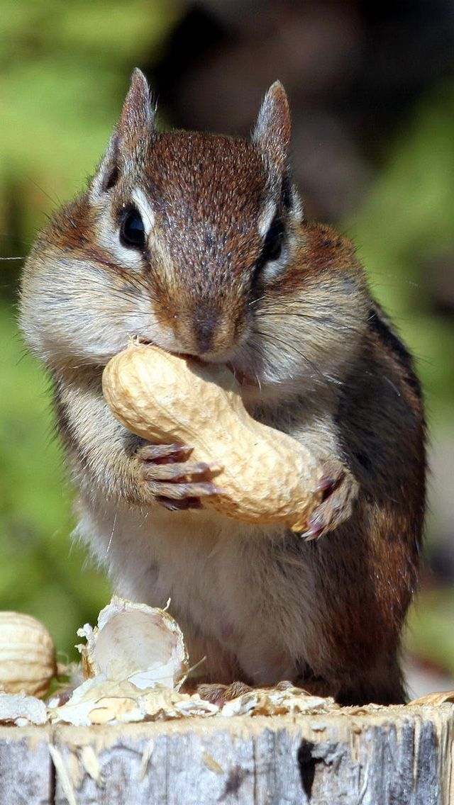 Chipmunk cheeks.... This is how I look at the moment from my first SARPE jaw surgery ... Although sadly not as cute as this little bugger