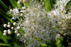 La Reina de los Prados o Filipendula ulmaria no debe confundirse con otra planta muy similar, la Filipendula vulgaris, pues sus propiedades curativas son diferentes. La reina de los prados o ulmaria se viene utilizando desde la época medieval, cobrando auge en el Renacimiento. SIGUE LEYENDO EN: http://alimentosparacurar.com/plantas-medicinales/n/269/propiedades-de-la-ulmaria-o-reina-de-los-prados.html
