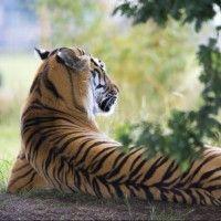 Картинка с тигром, лежащий спиной #картинки#фото#животные#тигры#кошки#природа#хищники