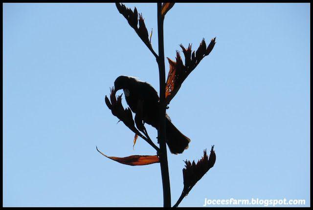 Tui and flax flower @ Jocees Farm